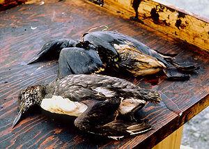 Oily Birds